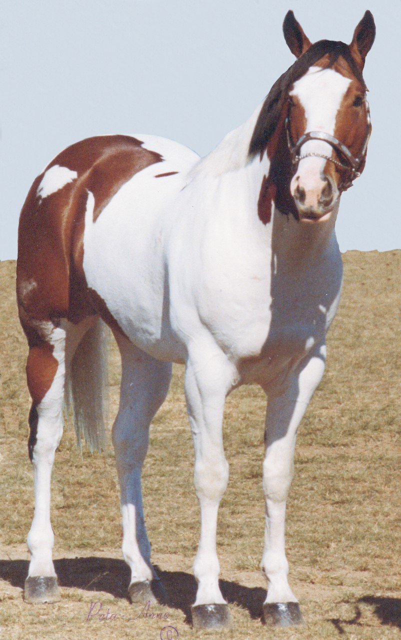 Hall Of Fame - Paint Horse