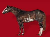 Coat Colours Paint Horse